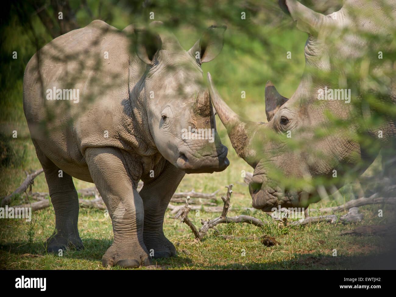 Südafrika - A paar Nashorn (Überfamilie) auf das Dinokeng Game Reserve Stockbild