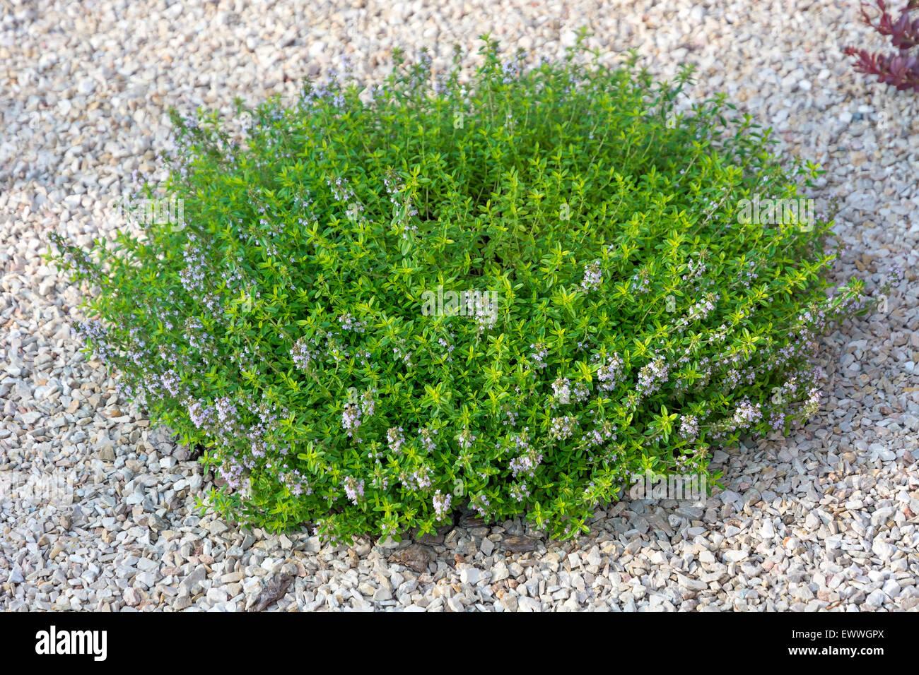 Kleiner grüner Strauch mit blauen Blumen auf hellen Stein. Element der Landschaftsgestaltung. Stockbild