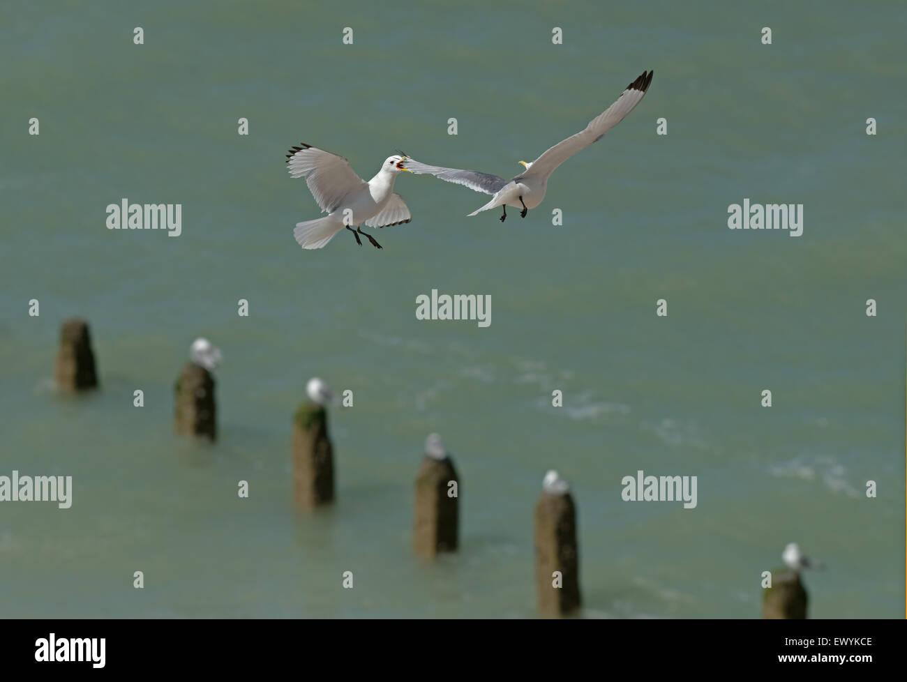Dreizehenmöwen-Larus Tridactyla im Flug dispays Aggression. Sommer. UK Stockfoto