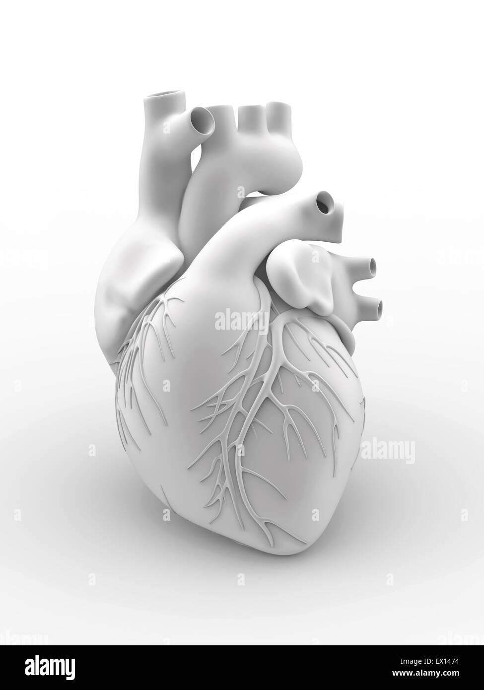 Herz und Koronararterien Kunstwerk die äußere Anatomie eines ...