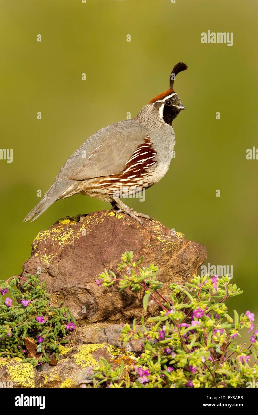 Die Gambels Wachteln Art Gambelii Tucson, Arizona, USA 21 kann erwachsenen männlichen Phasianidae Stockbild