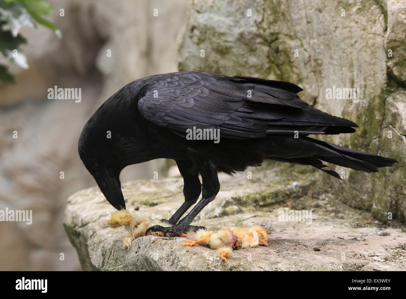 Gemeinsamen Rabe (Corvus Corax) Essen totes Huhn im Frankfurter Zoo in Frankfurt Am Main, Hessen, Deutschland. Stockbild