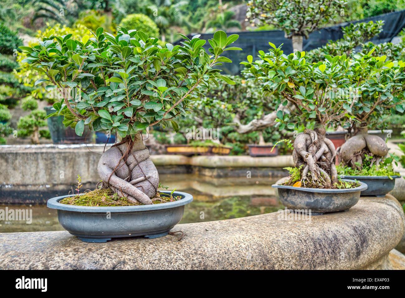 bonsai trees in bonsai garden stockfotos bonsai trees in bonsai garden bilder alamy. Black Bedroom Furniture Sets. Home Design Ideas