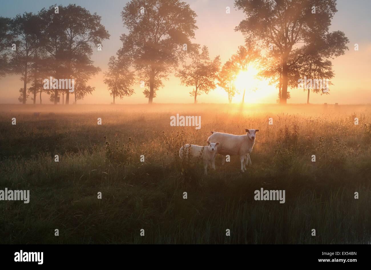 Schafe auf nebligen Weide am Sommer Sonnenaufgang Stockbild