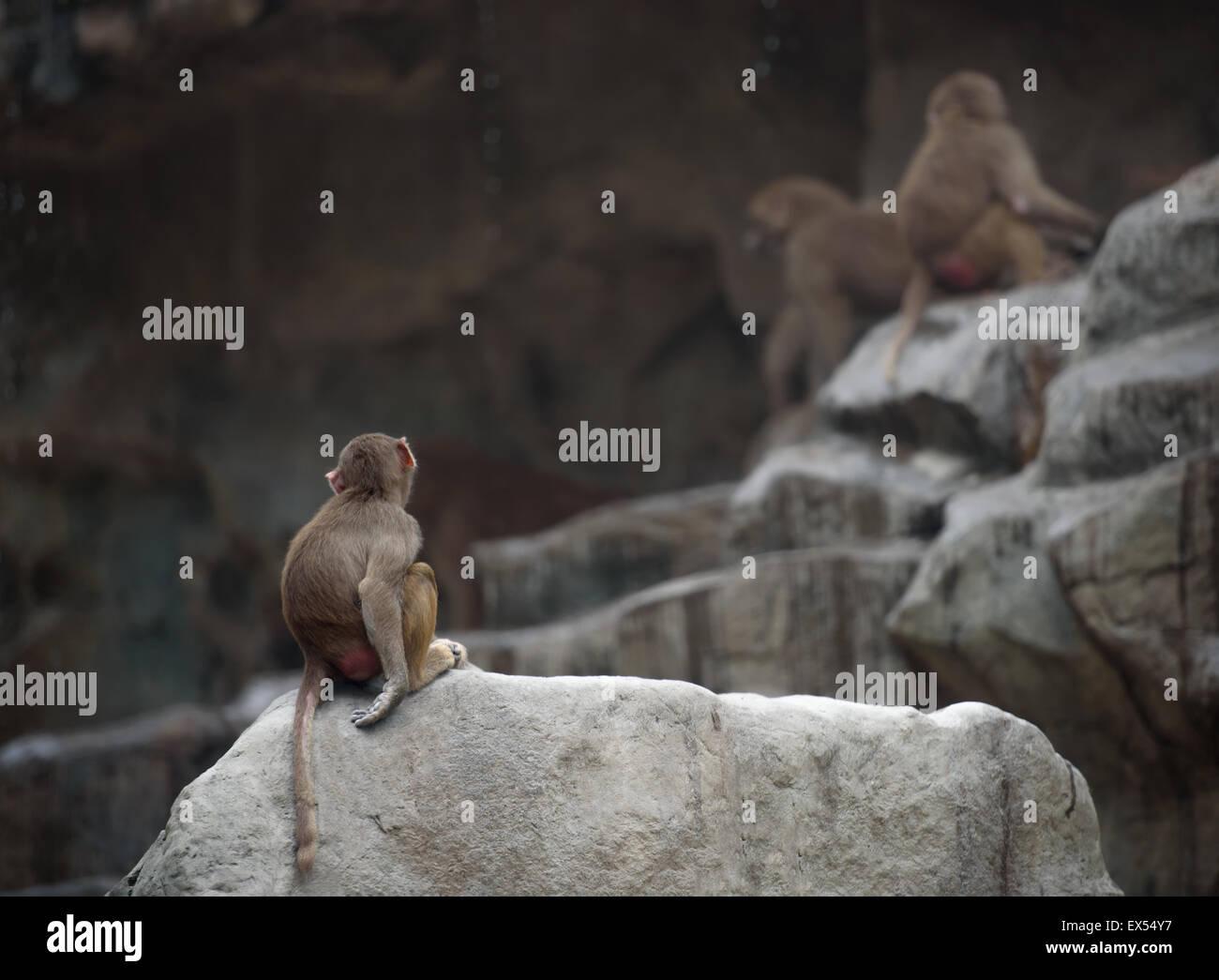 Affenbaby der Hamadryas Pavian sitzend in einer Pose traurig und einsam Stockbild