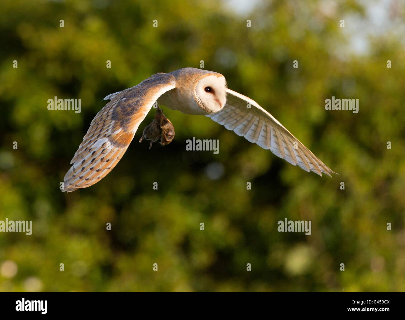 Schleiereule (Tyto Alba) im Flug mit Beute Stockfoto