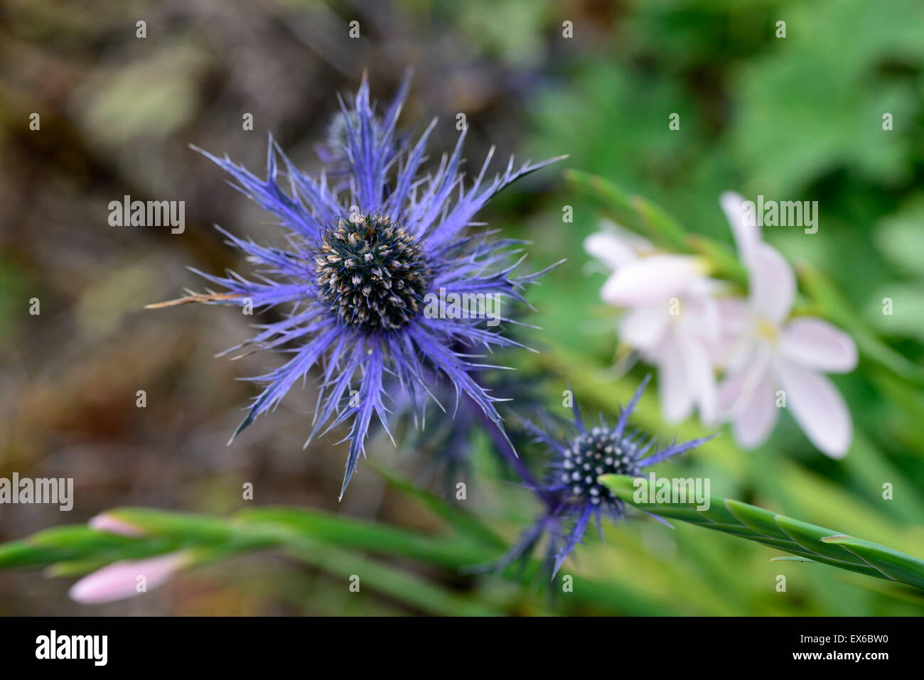 Eryngium indigo Stern Blume Blumen blau Herbst Garten Stauden Blume ...