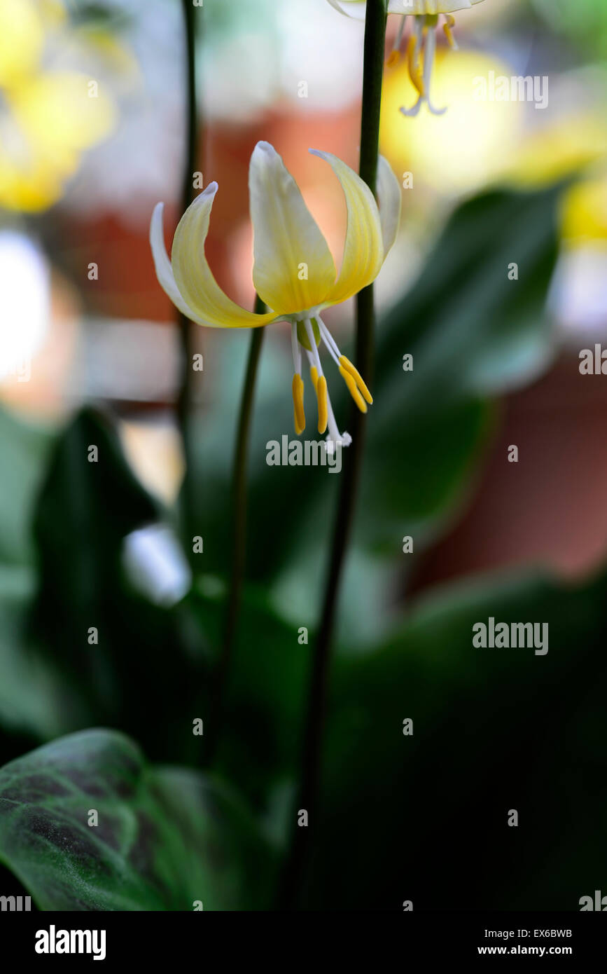 Erythronium Joanna gelbe Blume marmoriert Laub Blätter Fawn Lily ...