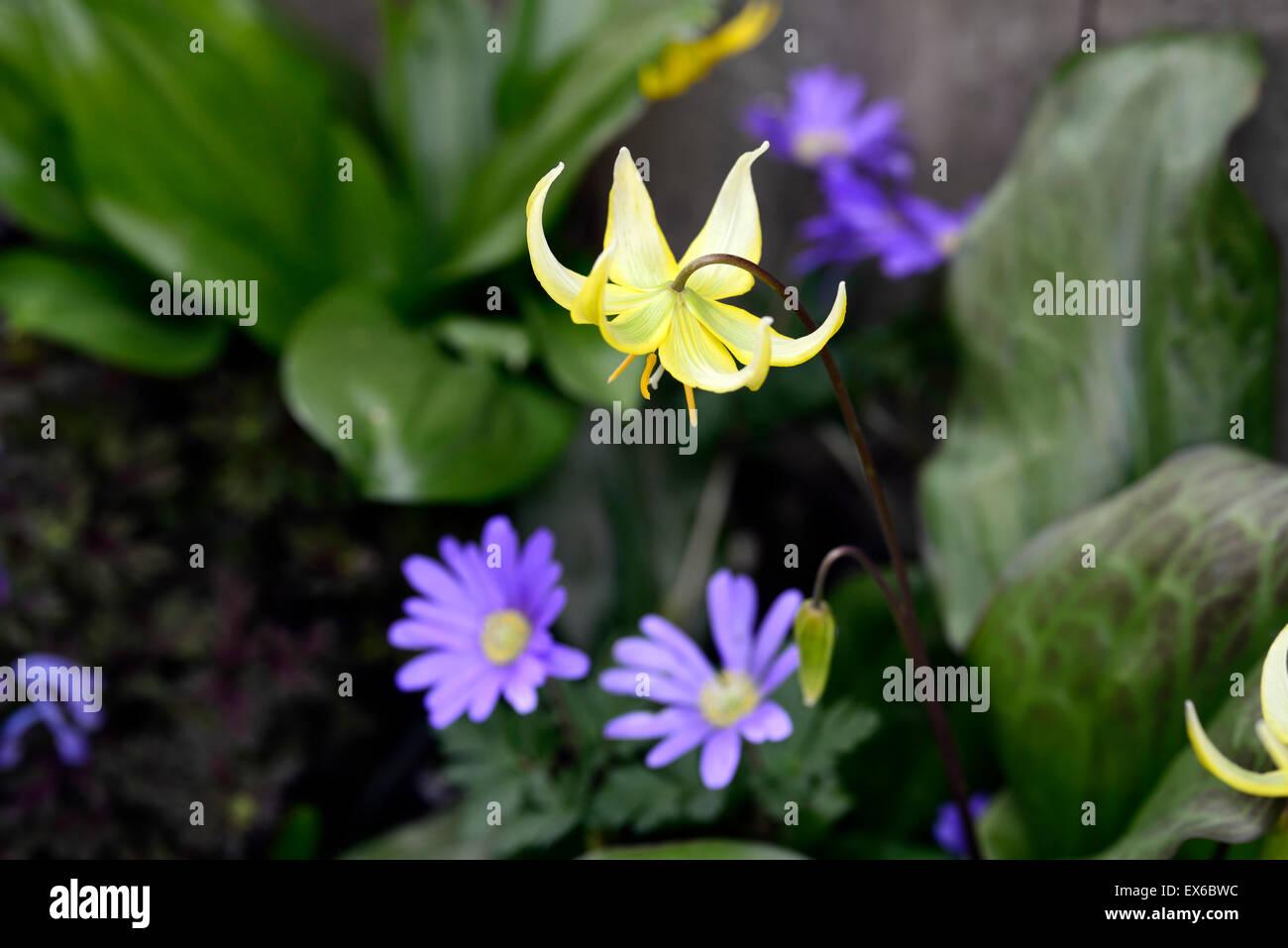 Erythronium Pagode Anemone Blanda blauen Schattierungen Fawn Lily ...