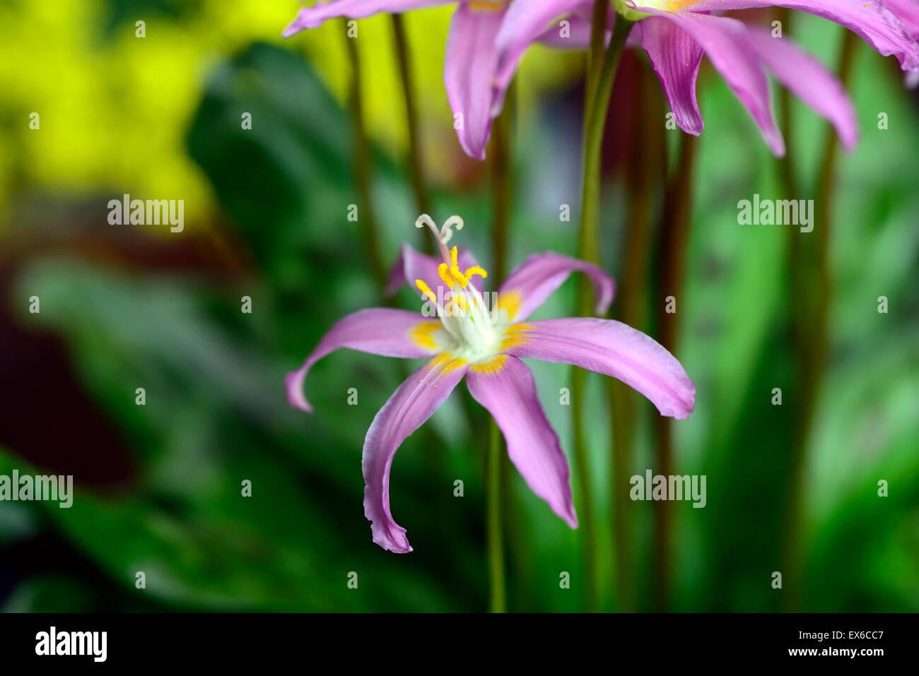 Erythronium Revolutum Waverley Stargazer rosa Fawn Lily Dogstooth ...
