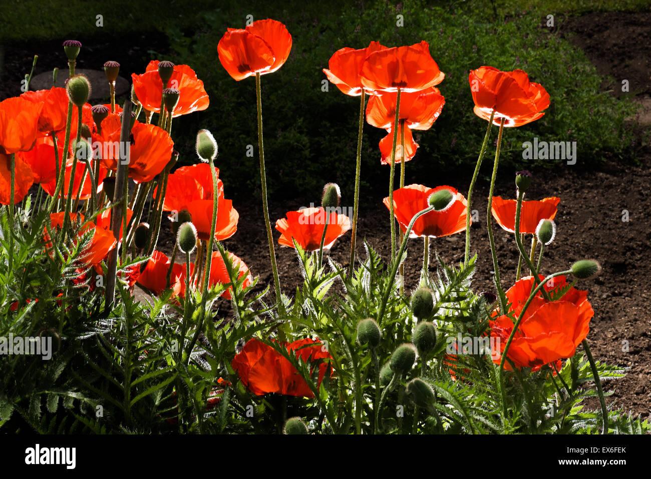 Mohn Mohnblumen im Gegenlicht, Hintergrund rot schwarz, Raum für das Textlayout, fühle mich gut, Wellness Stockbild
