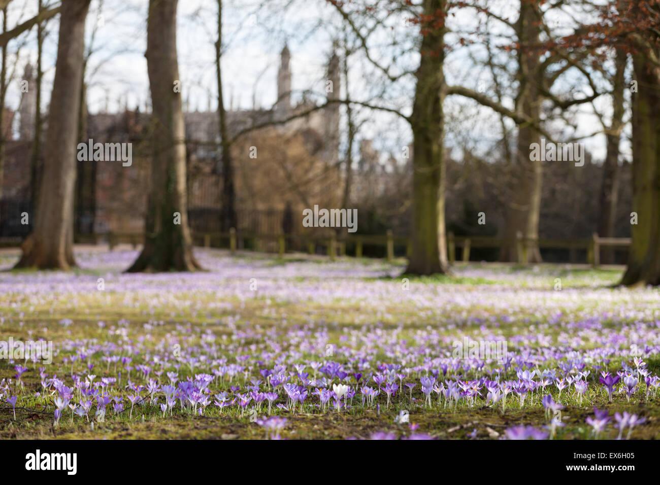 Frühling auf dem Rücken lila Krokus außen Trinity College Cambridge, UK Stockbild