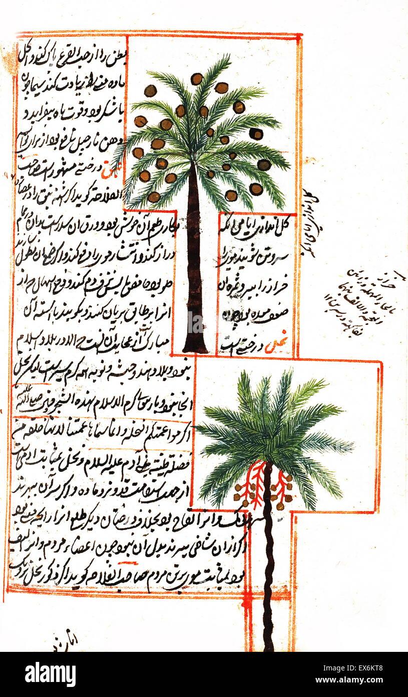 """Abbildung mit Kokosnuss und Palmen Bäume von 1538-Edition von """"Kit? b-ich? Aj? y? b-al-Makhl? Q? t va Stockbild"""