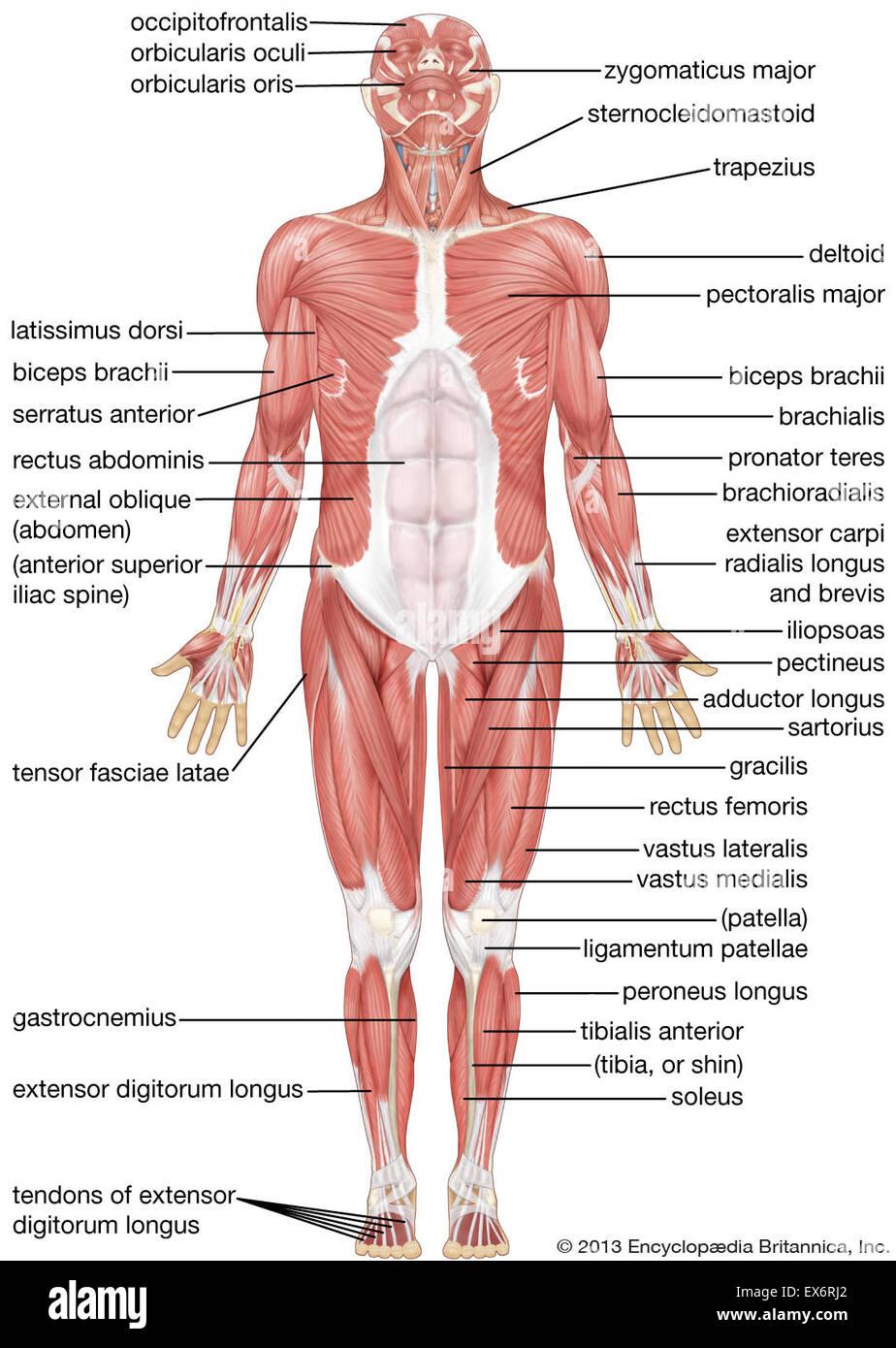 Ansicht von ventral der menschlichen Muskulatur Stockfoto, Bild ...