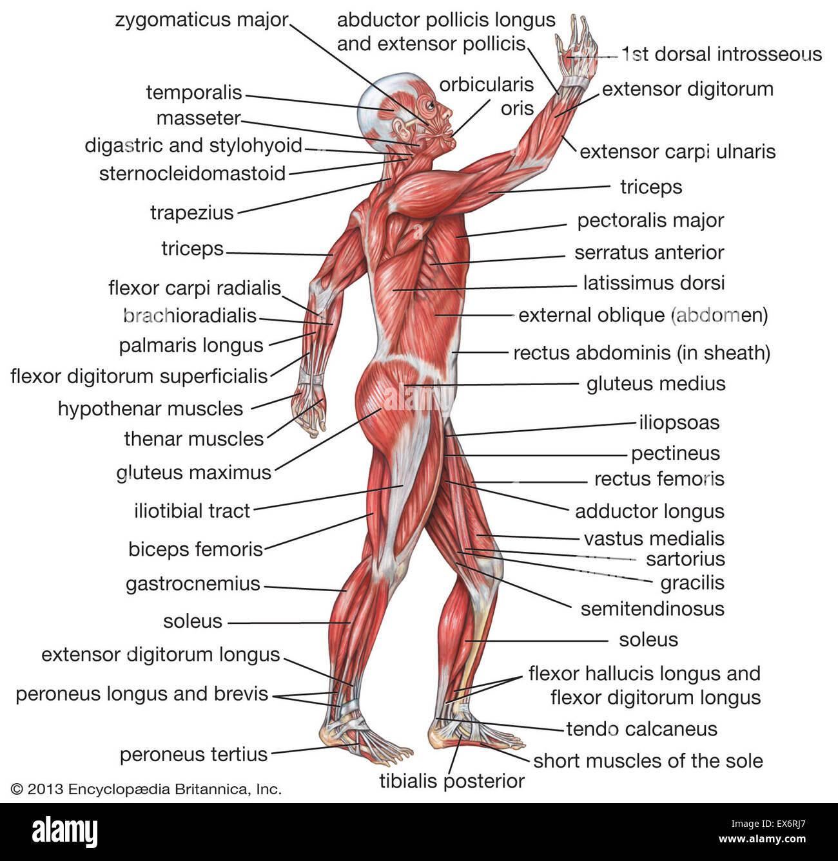 Seitenansicht der menschlichen Muskulatur Stockfoto, Bild: 84972783 ...