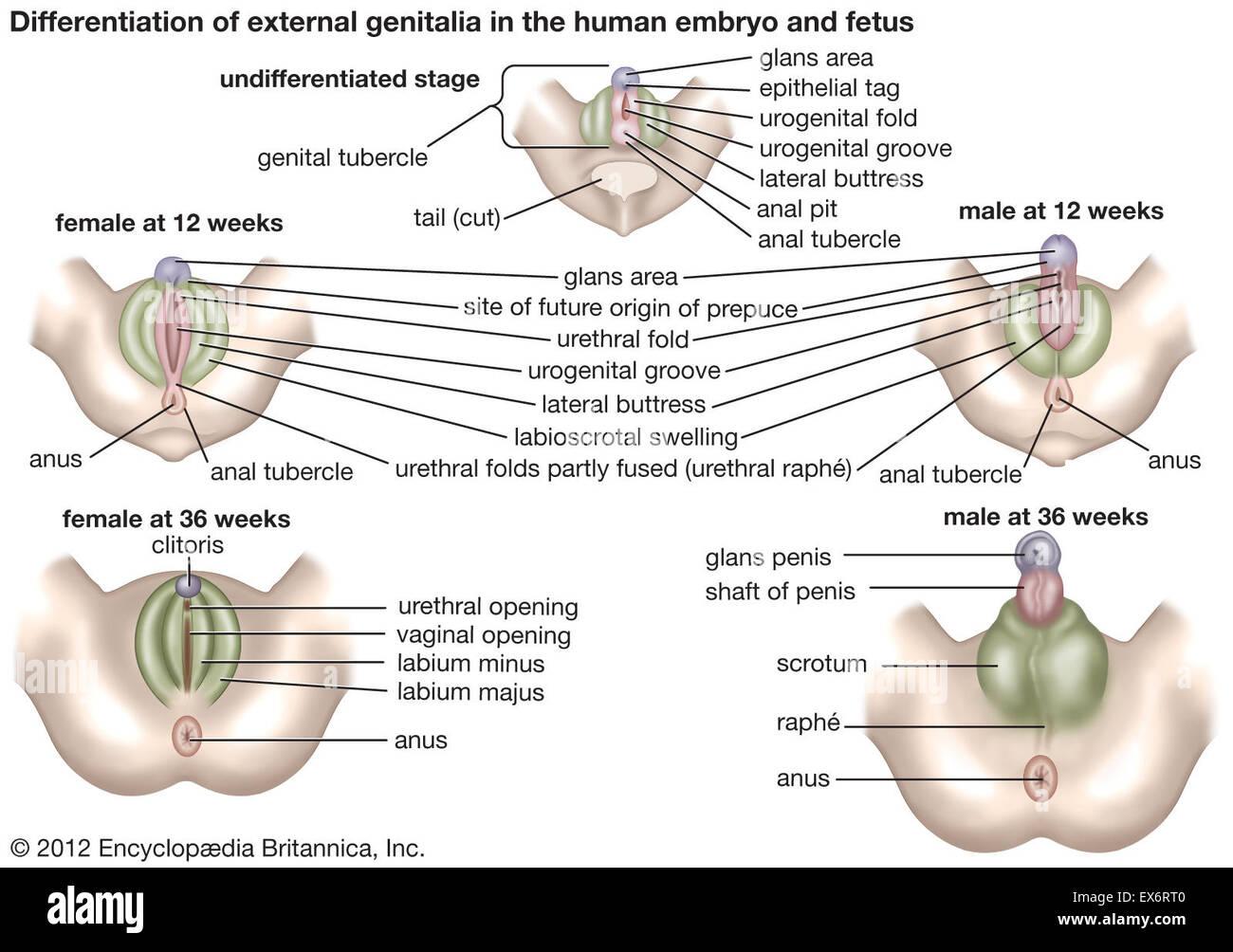 Fantastisch Männlich äußeren Genitalien Anatomie Ideen - Menschliche ...