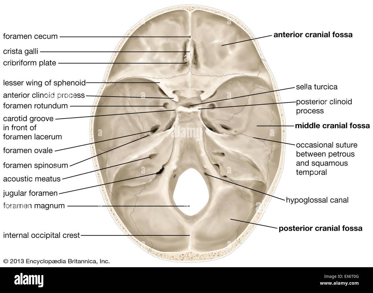 Innere Oberfläche der menschlichen Schädel Stockfoto, Bild: 84973072 ...