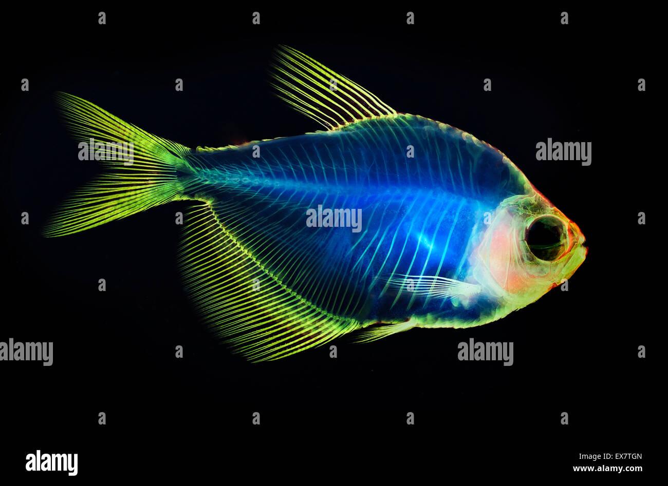 Fisch Skelett Anatomie Stockfoto, Bild: 84995477 - Alamy
