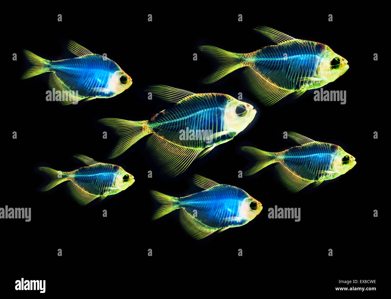 Fisch Skelett Anatomie Stockfoto, Bild: 85008266 - Alamy
