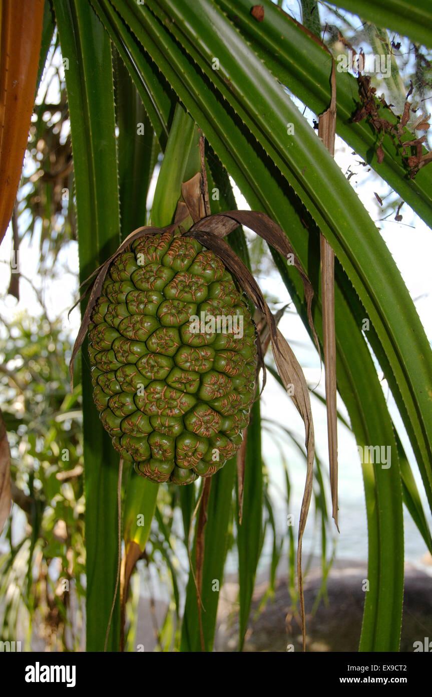 tropische Früchte auf dem Baum, Mahé, Seychellen Stockbild