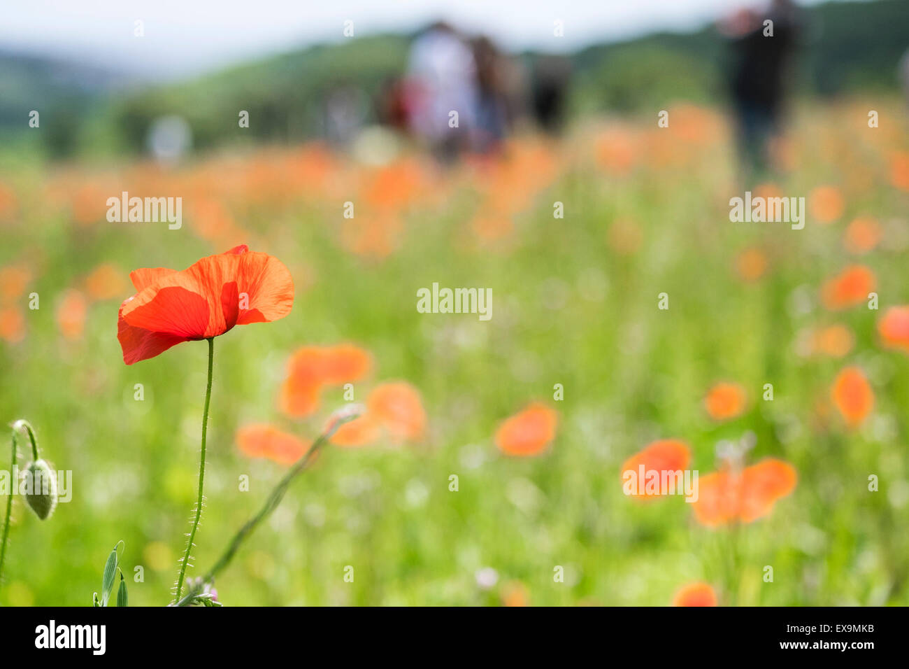 Mohn in den Lost Gardens of Heligan in Cornwall. Stockbild