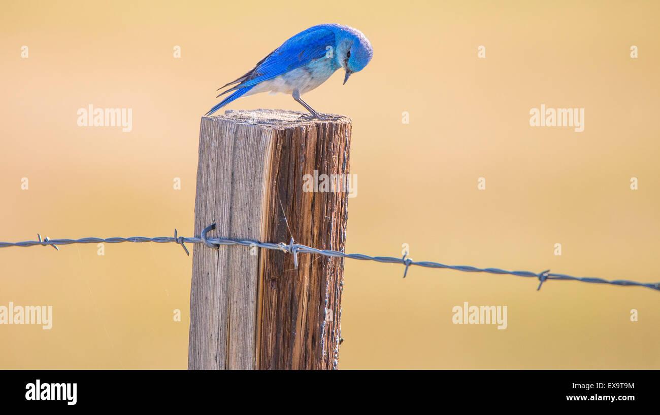 Vögel, Mountain Blue Bird thront auf einem Zaunpfahl, Idaho State Bird, Idaho, USA Stockbild