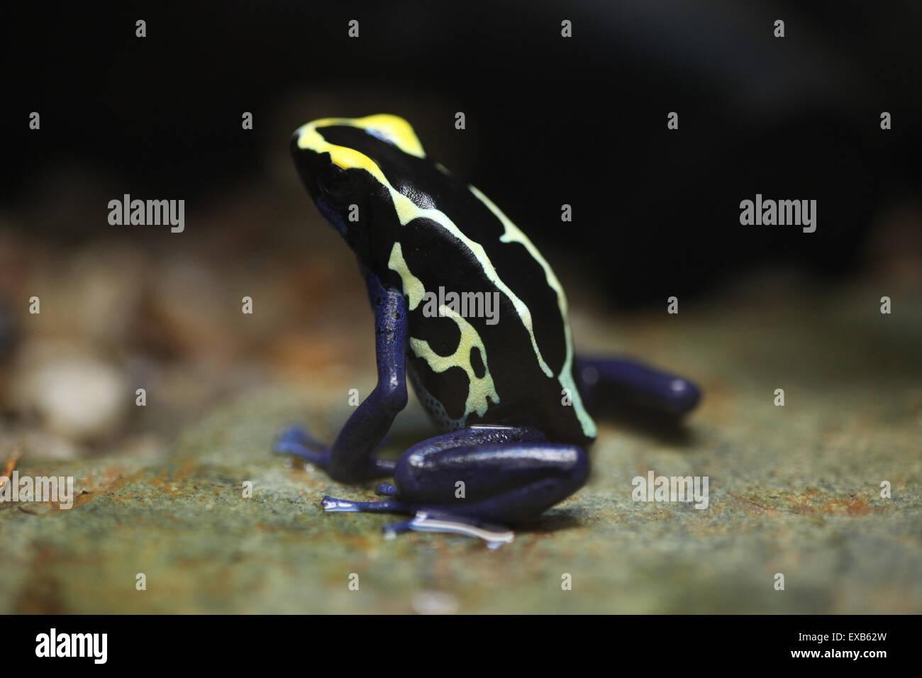 Färben Dart Frog (Dendrobates Tinctorius), auch bekannt als das ...