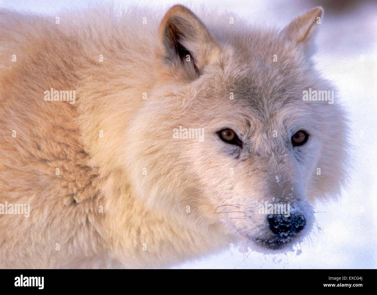 Arctic Wolf beobachten, Porträt, Nahaufnahme Stockbild