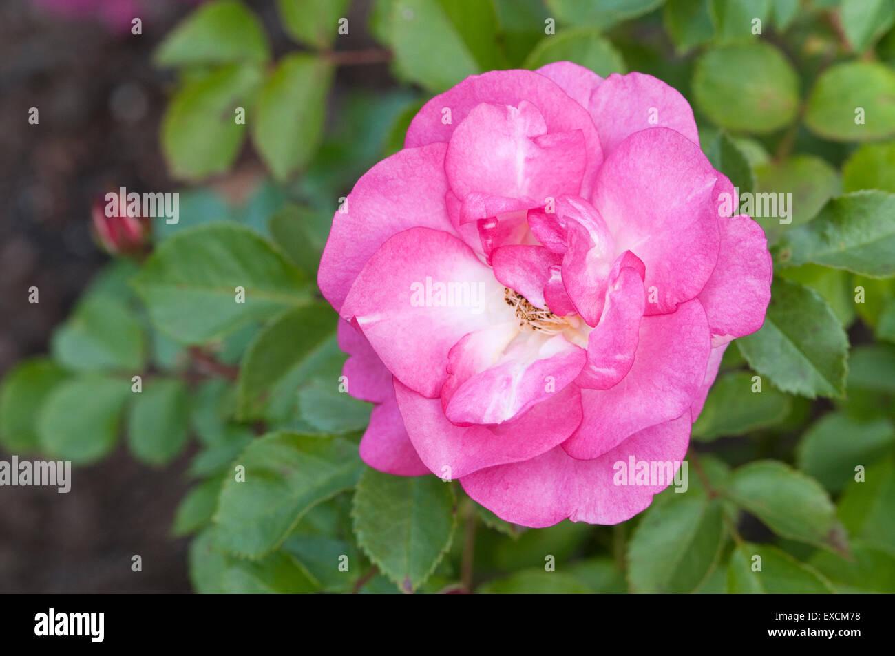 Rosa Strauch-Rose - Rosa Sonnenaufgang Sonnenuntergang Stockbild