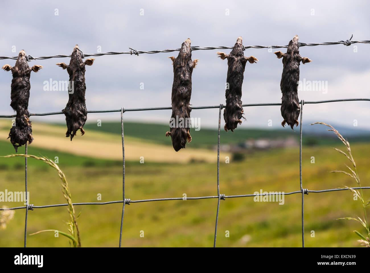 5 tot europäische maulwürfe, talpa europaea, von einem bauern zaun