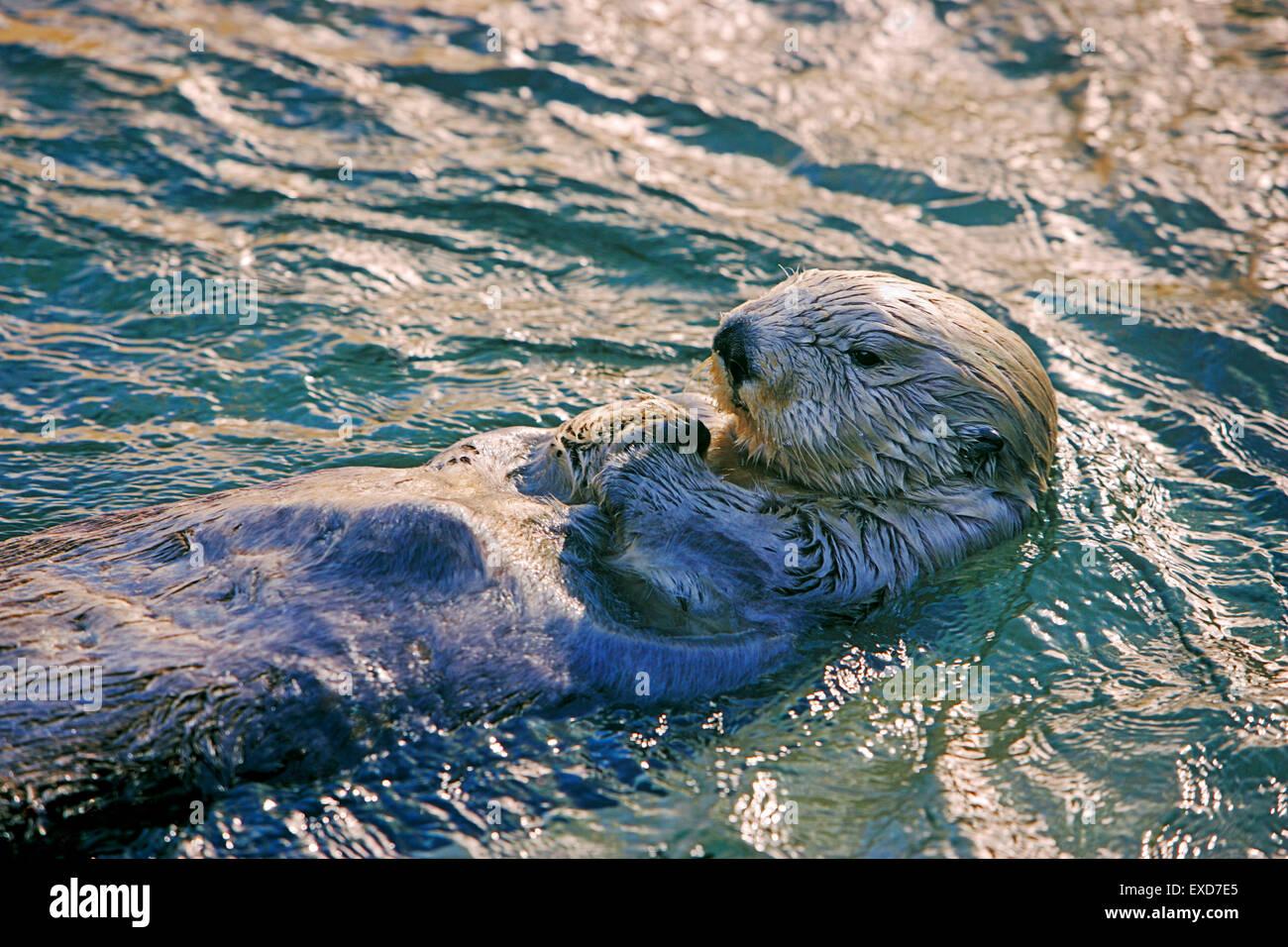 Sea Otter schwimmt auf dem Rücken, Abendsonne Stockbild