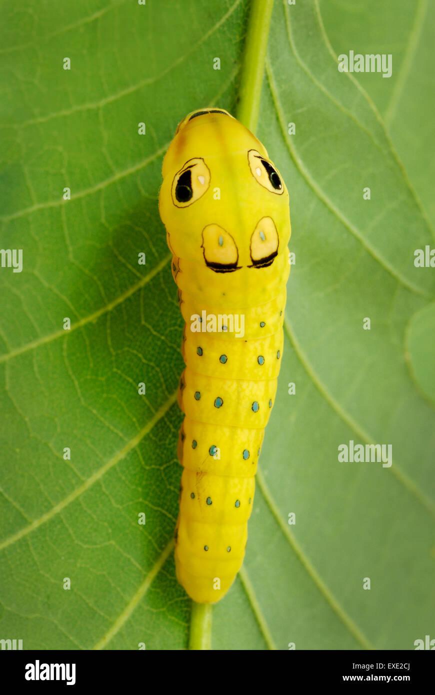 Spicebush Schwalbenschwanz Papilio Troilus, Raupe im letzten prepupal Instar.  Schlange zu imitieren, mit gefälschten Stockbild
