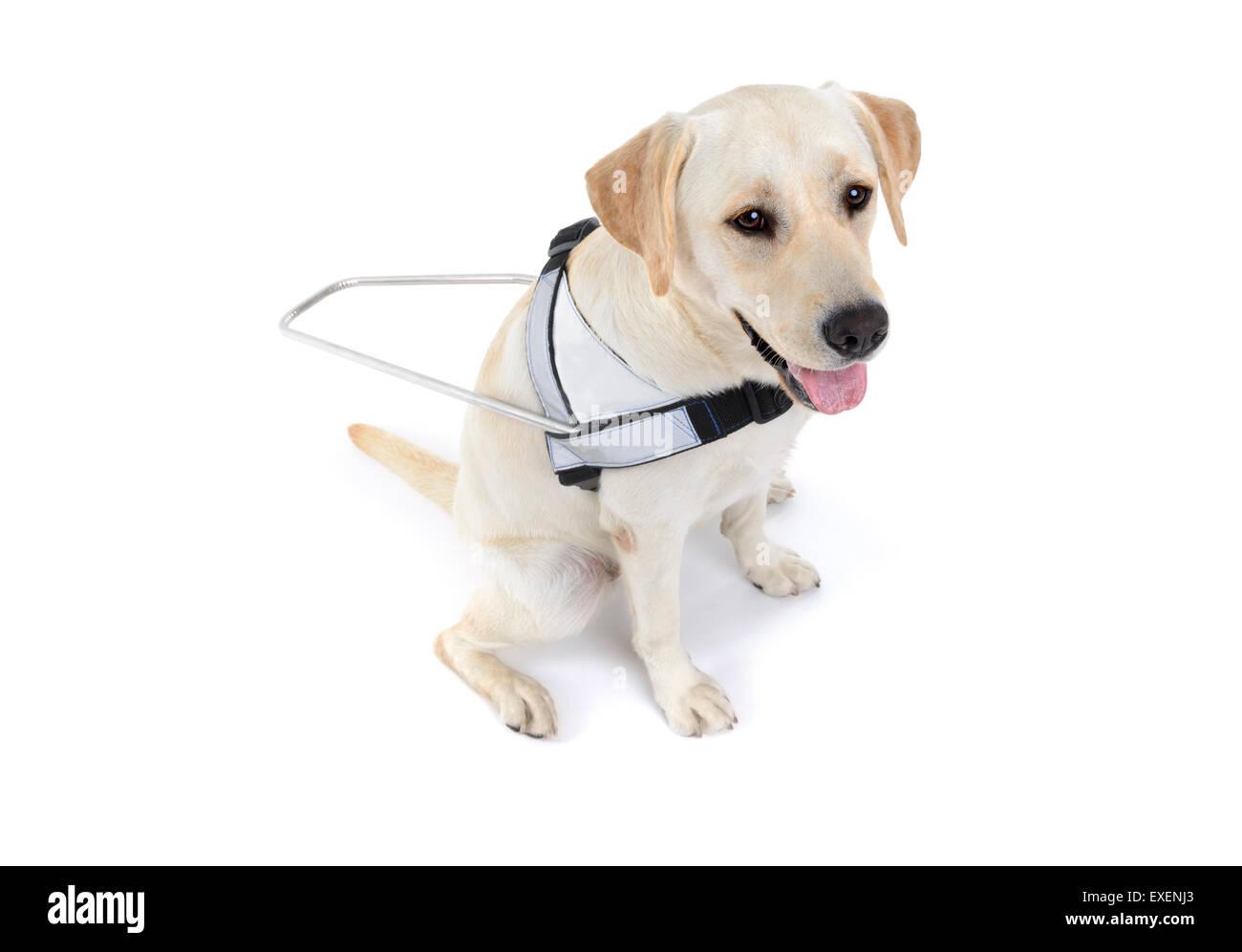 Blindenhund für blinde ausgeschnitten isoliert auf weißem Hintergrund Stockbild