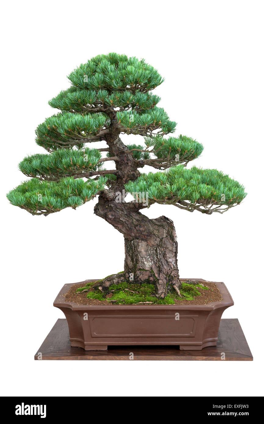 bonsai baum japanische weymouthskiefer isoliert stockfoto. Black Bedroom Furniture Sets. Home Design Ideas