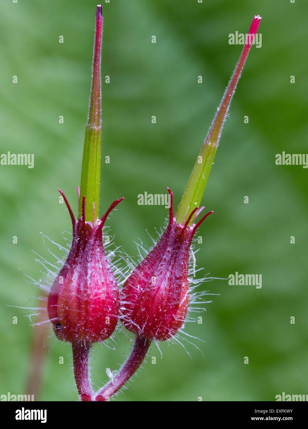 Samenkapsel von Herb Robert Geranium robertianum Stockbild