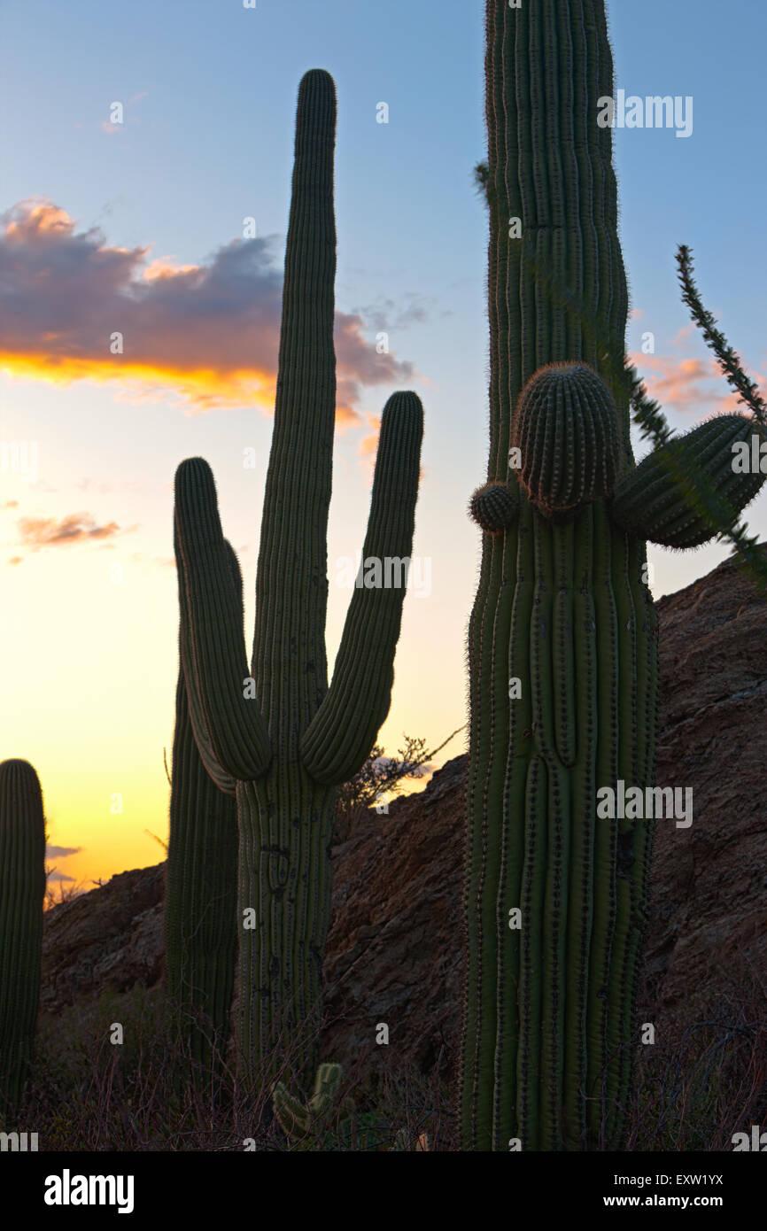 Saguaro Kaktus (Carnegiea Gigantea) Silhouette bei Sonnenuntergang, Saguraro National Park East, Saguaro National Stockfoto