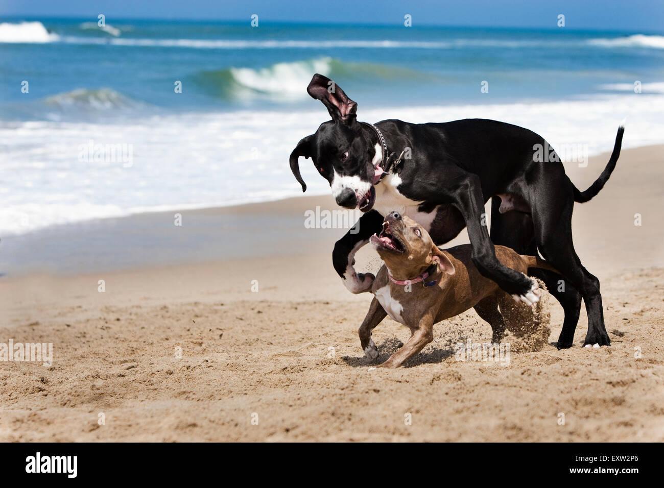 Deutsche Dogge und Pitbull laufen und spielen hart am Strand Stockbild