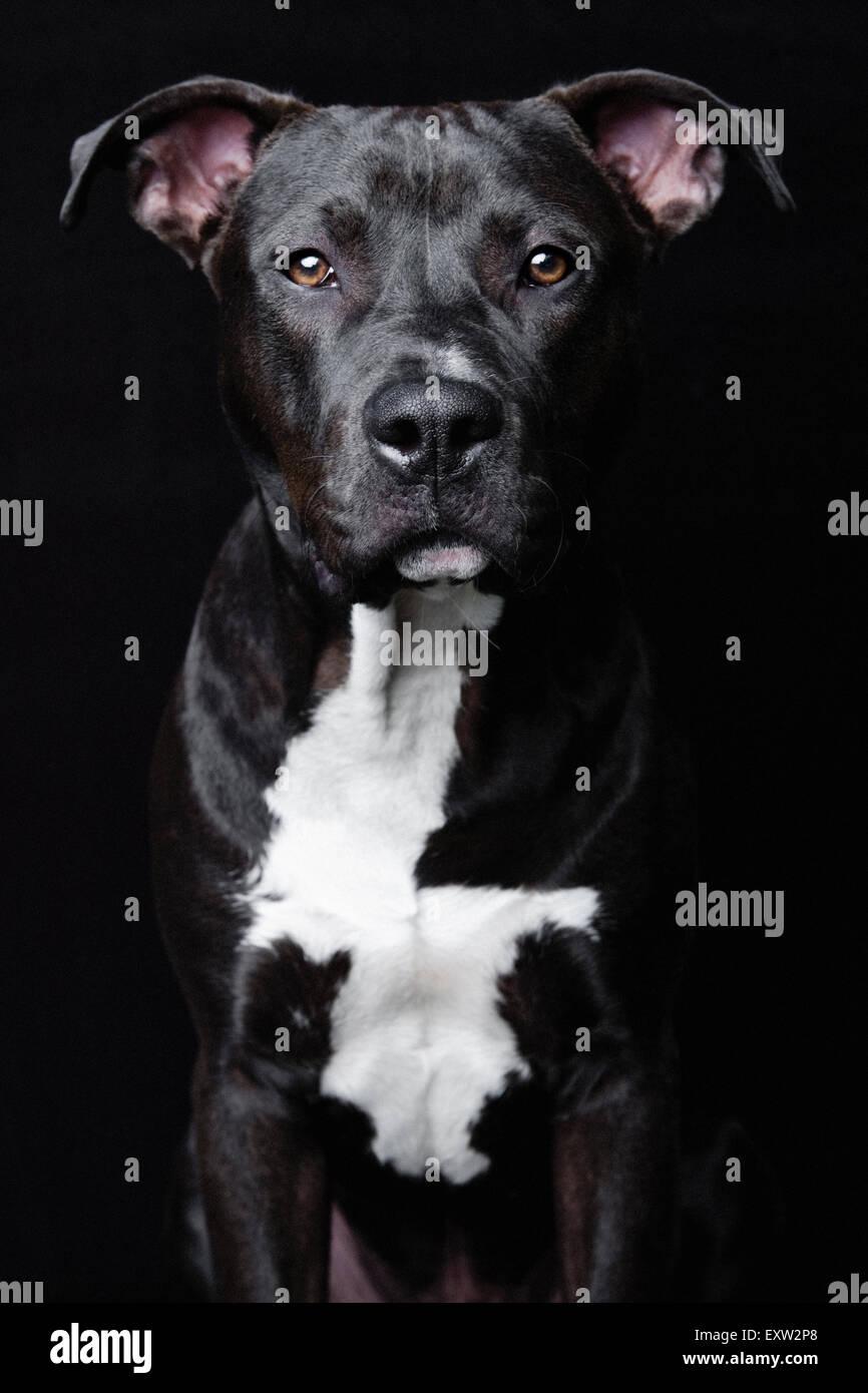 Beeindruckende und intensive Studio Portrait Oberkörper des schwarzen Pitbull auf schwarzem Hintergrund Pitbull Stockbild