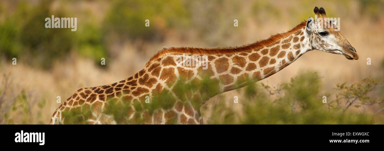 Maxhighres, Einzelnes Tier, Tier, Wirbeltier, Säugetier, Huftier, Paarhufer, Paarhufer, Giraffe, Giraffe Giraffa, Stockbild