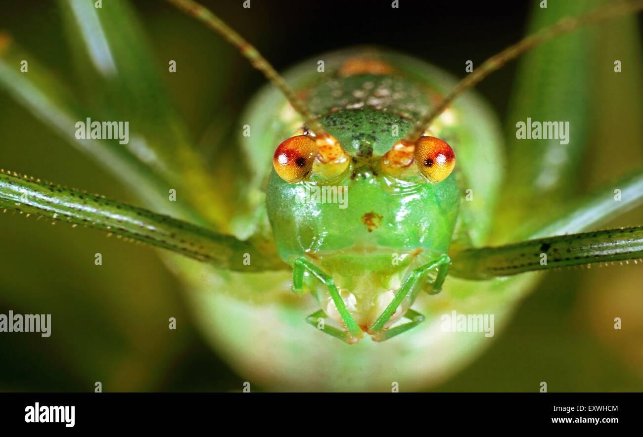 Große grüne Bush-Cricket (Tettigonia Viridissima), portrait Stockbild