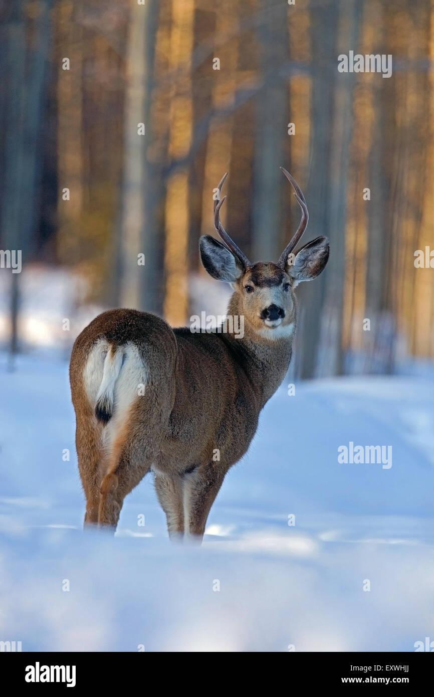 Mule deer Bock steht in tiefem Schnee am Rand des Waldes Stockbild