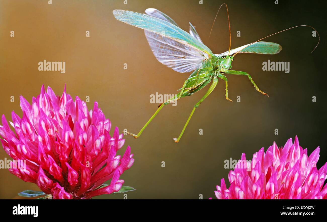 Große grüne Bush Cricket, Tettigonia viridissima Stockbild