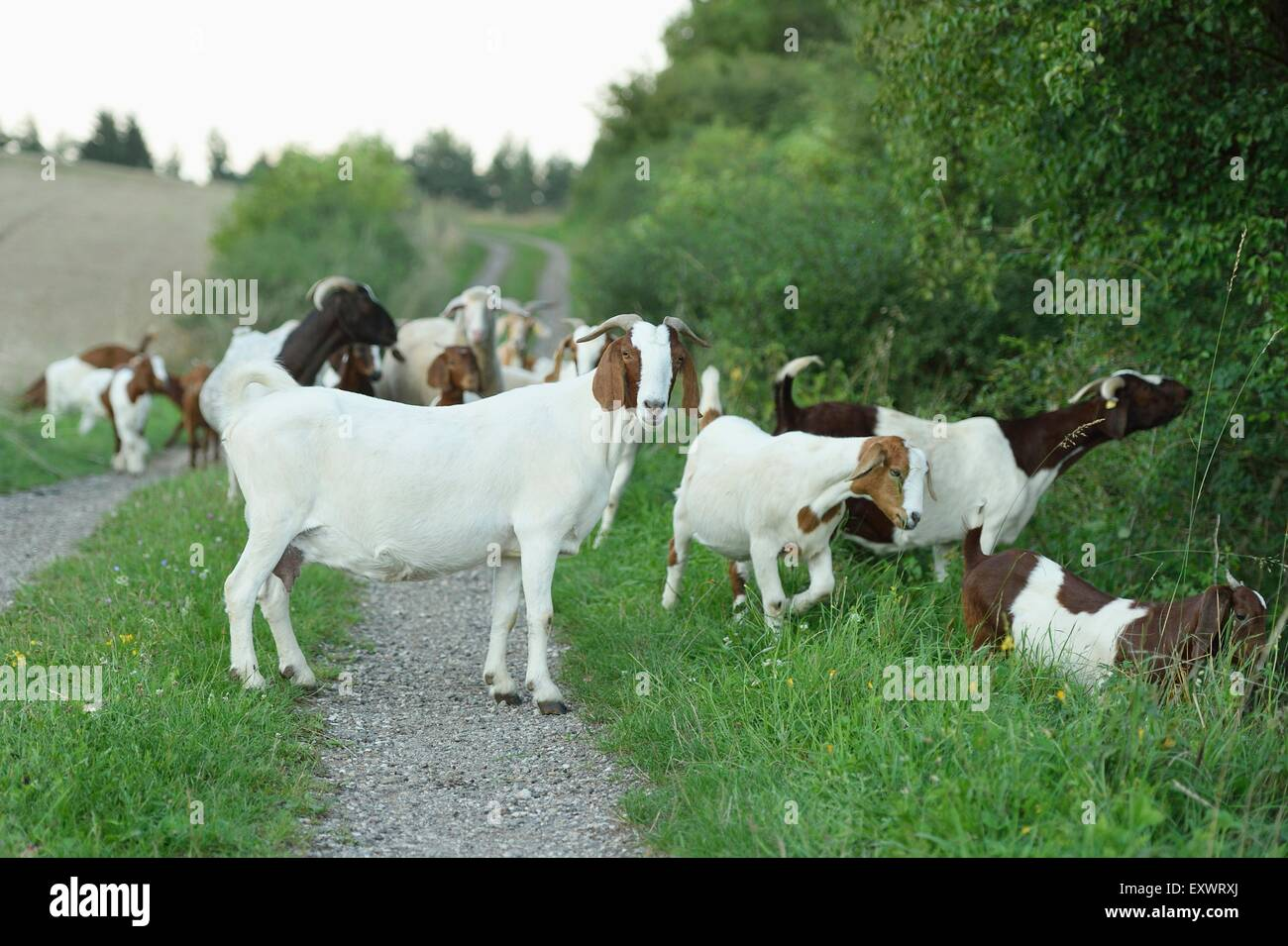 Gruppe von Boer Ziegen und sie Eps, Oberpfalz, Bayern, Deutschland, Europa Stockbild