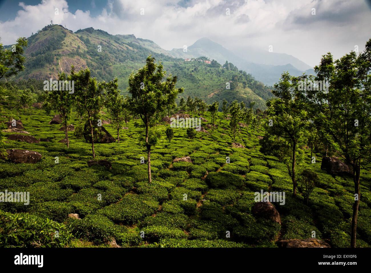 Tee-Plantage in der Nähe von Munnar, Kerala, Indien. Die Western Ghats sind im Hintergrund Stockbild