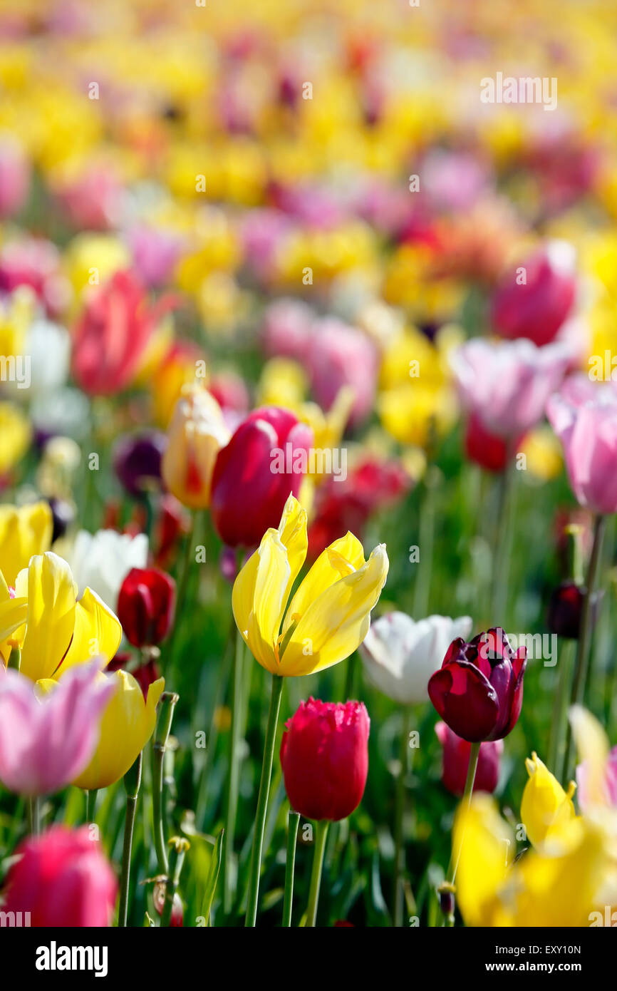 Bunten Tulpenfeld, Tulip Fest, hölzerne Schuh Tulip Farm, Woodburn, in der Nähe von Portland, Oregon USA Stockbild