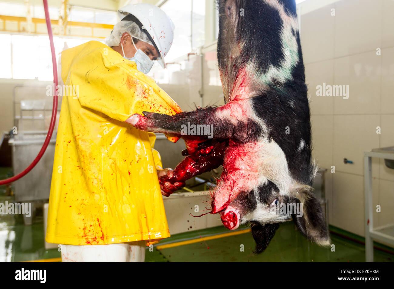 Schlachthof Metzger Töten ein Schwein, das schauen direkt in die Kamera Fokus auf Tierischen Kopf Stockbild