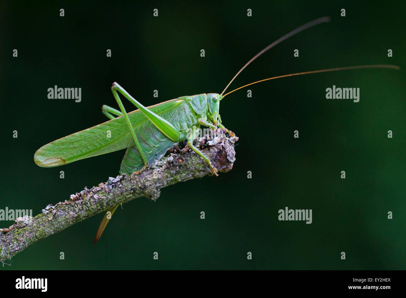 Große grüne Bushcricket / Great Green Bush-Cricket (Tettigonia Viridissima) weiblich auf Ast im Sommer Stockbild