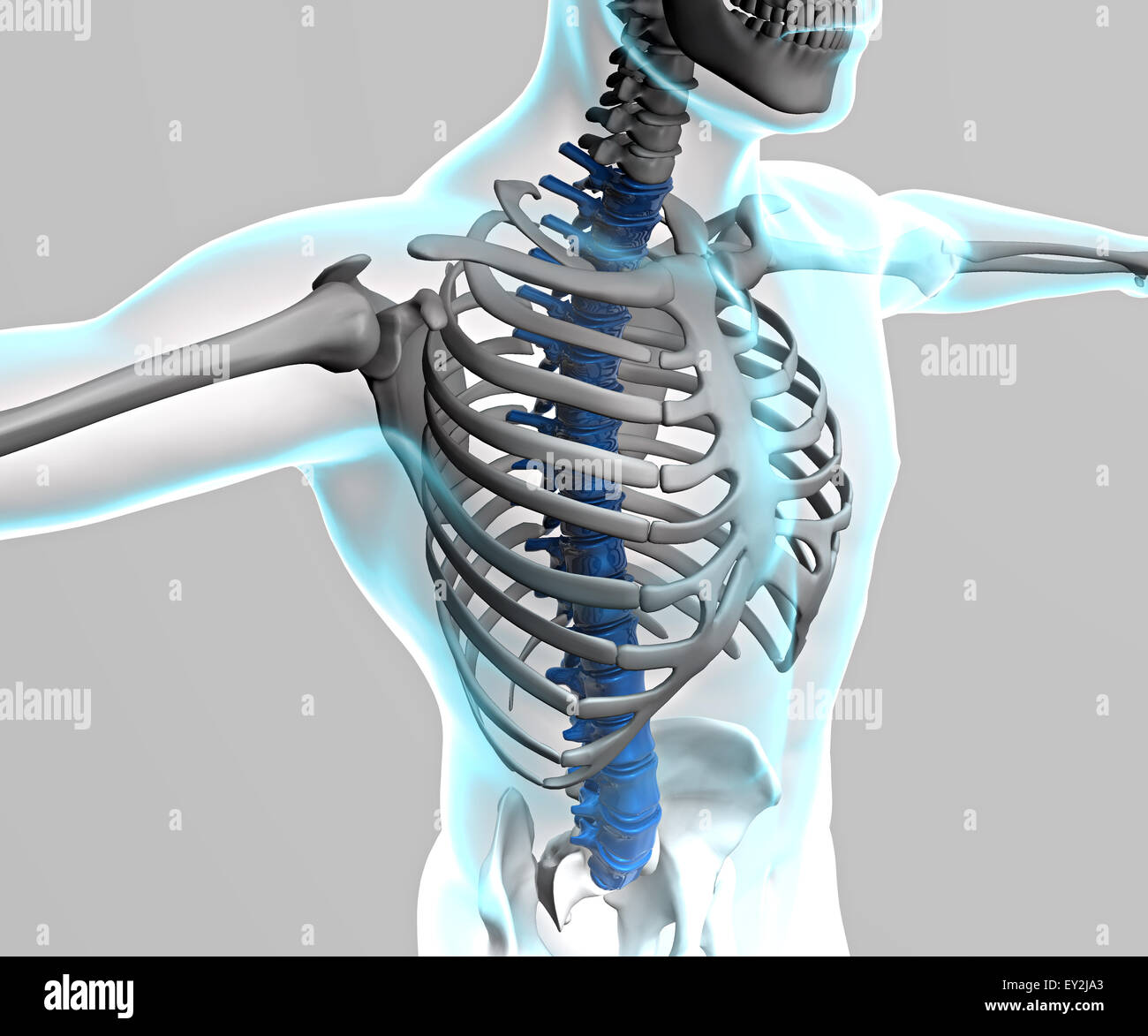 Berühmt Knochentabelle Menschliche Körper Fotos - Menschliche ...