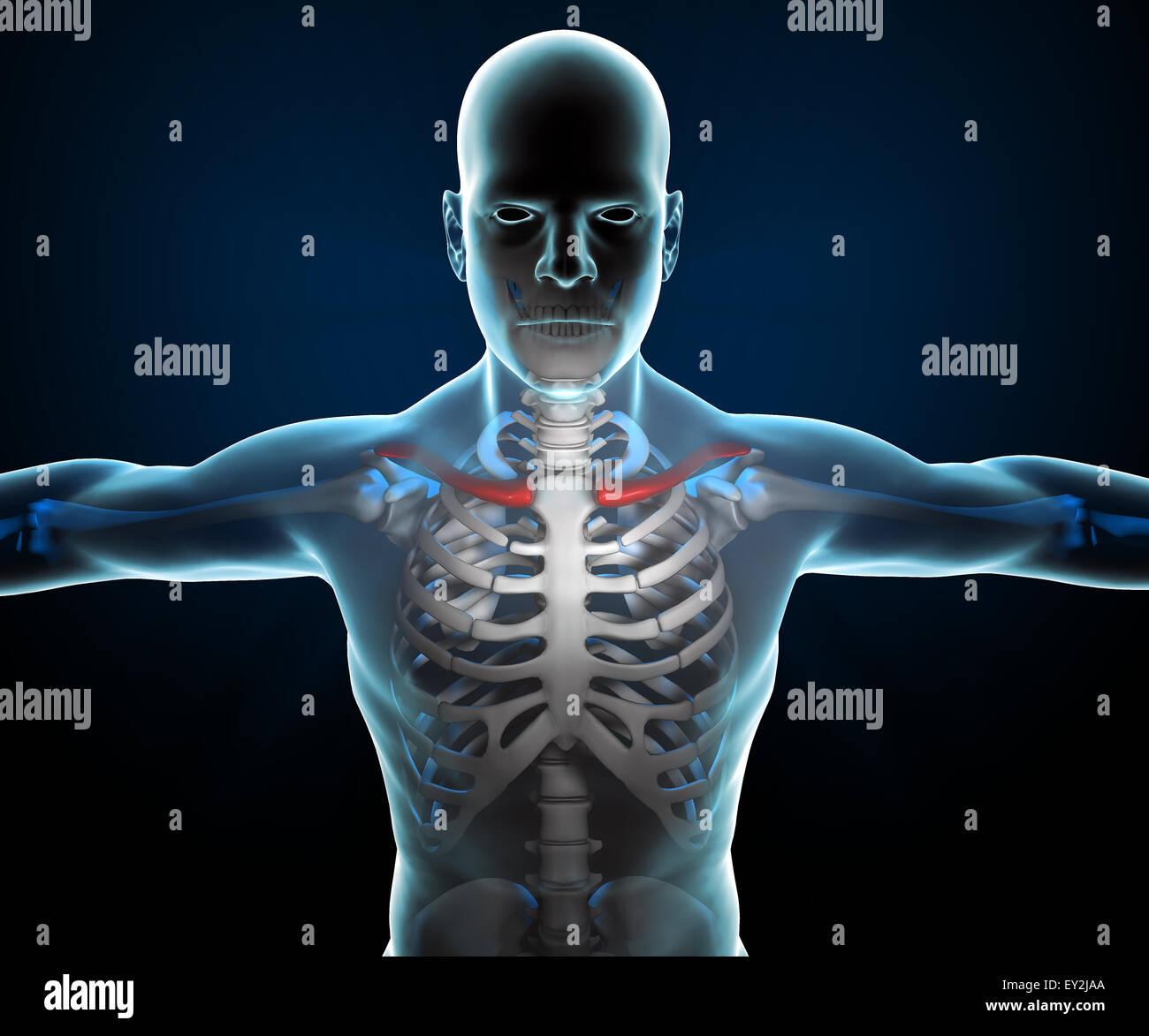 Ausgezeichnet 3d Skelett Anatomie Fotos - Menschliche Anatomie ...