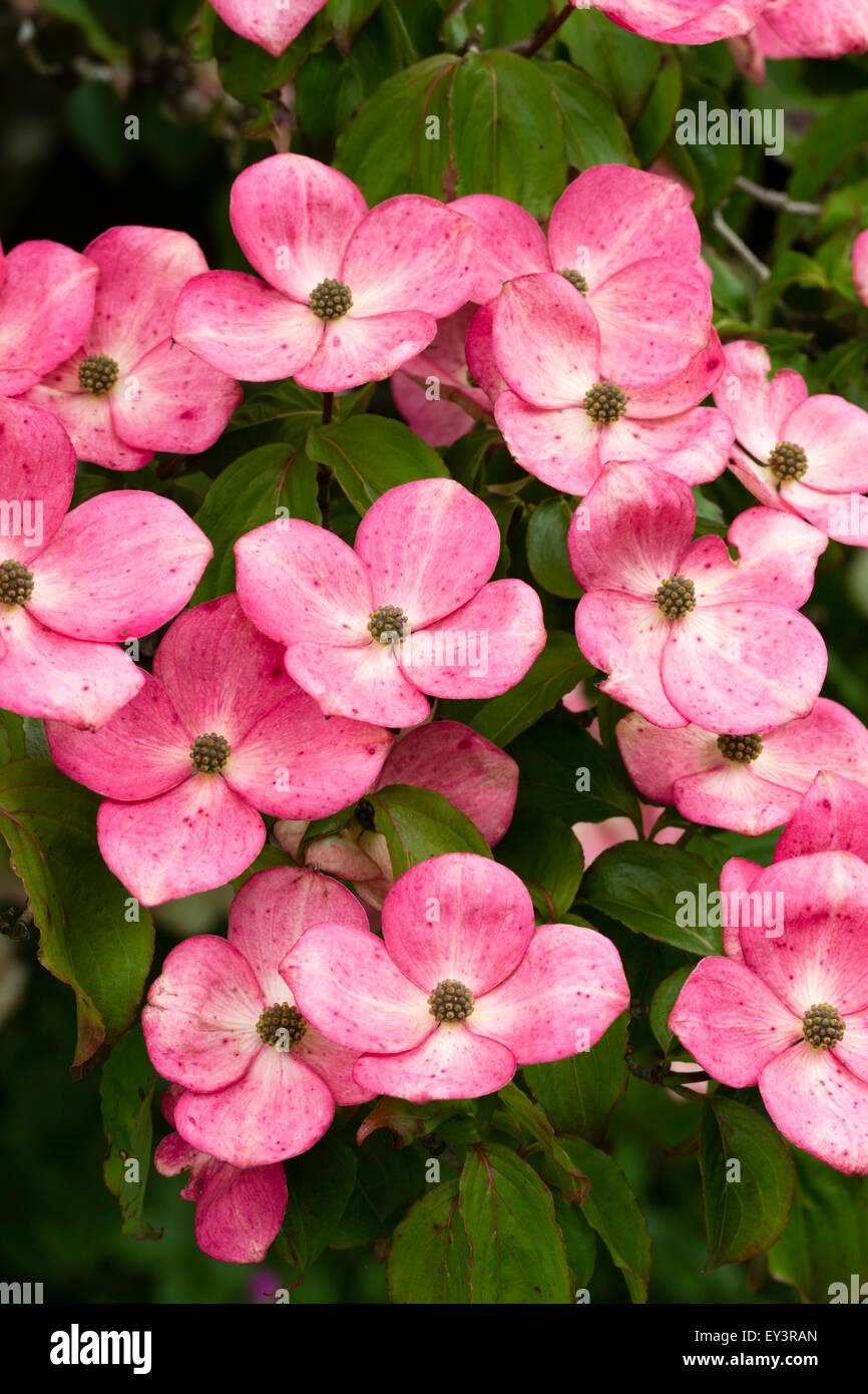 rot rosa bl ten von juni bl hende hartriegel cornus kousa 39 rosea 39 stockfoto bild 85521373 alamy. Black Bedroom Furniture Sets. Home Design Ideas